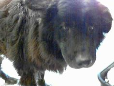 This DOG - ID#A464064I am a male, black Chow Chow mix. Shelter staff think I am  about 7 years old. I have been at the shelter since Apr 18,...