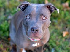 TO BE DESTROYED - 11/22/14 Brooklyn Center -P  My name is MIA. My Animal ID # is A1020362. I am a female gray and white pit bull mix. The shelter thinks I am about 2 YEARS   I came in the shelter as a OWNER SUR on 11/11/2014 from NY 11385, owner surrender reason stated was PERS PROB.
