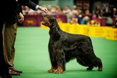 Gordon Setter~ just beautiful  I've had three of these(mixed breeds).