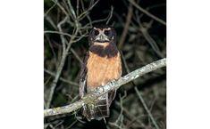 Murucututu-de-barriga-amarela (Pulsatrix koeniswaldiana) A murucututu-de-barriga-amarela caça somente durante a noite. Procura por insetos grandes, aves em pleno sono e principalmente roedores e outros mamíferos de pequeno e médio porte