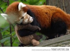 93d1d2395 Baby red panda hug - i dont know what that one means Especie Animal, Mundo