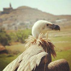 #buitre #leonado #buitres #vulture #animals #aves #alcala #huesca - @anuskatremenduska- #webstagram