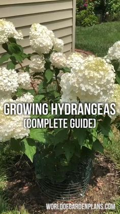 Pruning Hydrangeas, Hydrangea Landscaping, Garden Landscaping, How To Grow Hydrangeas, Hydrangea Fertilizer, Backyard Fences, Landscaping Tips, Shade Garden Plants, Summer Plants