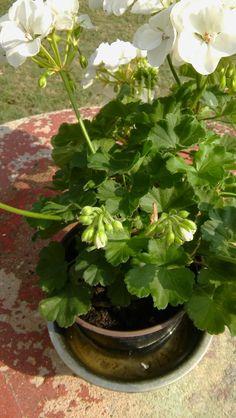 10 trucchi per migliorare la fioritura dei gerani - VerdeBlog