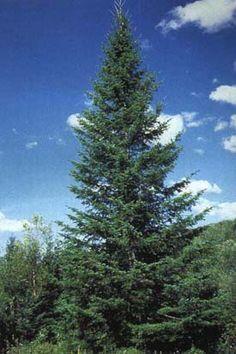 Les sapins sont des arbres conifères du genre Abies originaires des régions tempérées de l'hémisphère nord. Ils font partie de la famille des Pinaceae. Ils sont reconnaissables au mode de fixation des aiguilles sur la tige, à leurs formes qui diffèrent de l'épicéa ainsi qu'à leurs cônes dressés qui se désagrègent à maturité.Ce sont des arbres monoïques à écorce quelquefois ponctuée de vésicules résinifères, à branches verticillées et étagées.
