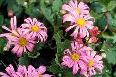 Pilliga daisy