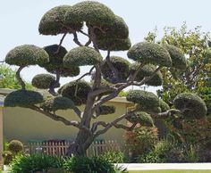 Image detail for -cloud pruning is usually seen in japanese style gardens or bonsai ...