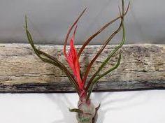 Bulbosa air plants