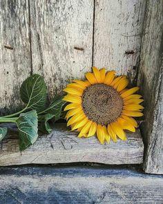 Sunflower Meaning; Sunflower Ar… in 2020 Sunflower Quotes, Sunflower Pictures, Sunflower Garden, Sunflower Art, Sunflowers And Daisies, Yellow Flowers, Sun Flowers, Golden Flower, My Flower