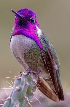 I'm just a pretty bird with a purple hair-dew sitting on cactus needles. Cute Birds, Pretty Birds, Beautiful Birds, Animals Beautiful, Exotic Birds, Colorful Birds, Bird Pictures, Animal Pictures, Funny Bird