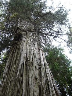 Trees that witnessed the rise and fall of empires throughout history, page 1