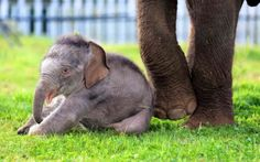 The new baby elephant born this week to Woburn Safari Park's 20-year-old Asian elephant Damini Picture: Woburn Safari Park/PA (via Animal photos of the week - Telegraph)
