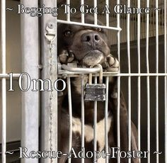 "Nov.22'16 OVERCROWDED SAN BERNARDINO, CA. Not Enough Volunteers ✿⊱✿⊱✿⊱PUPPY STANDS & WATCHES ALL DAY FROM SHELTER KENNEL CAGE ~ Tagg is just a puppy, listed as no more than 10-months of age. For most of the day, the anxious puppy stands on his hind feet – front paws resting on the steel bars of his cage watching everyone pass by. ""Maybe someone will stop and pet me? Maybe someone will let me out of here so I can play?"""