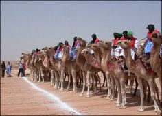 To participate in a camel race... Morocco