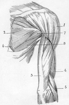Fig. 38. Superficial Muscles of Shoulder and Arm from Behind (Right).