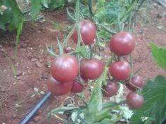Bonito cherry negro, muy dulce y sabroso, de bonita textura madura de de un tono rosado a negro, muy exitoso por su dulzor, fue uno de los primeros cherrys poco comunes que sembramos con éxito. www.cherryland.es