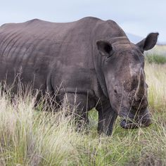 """Photography on Instagram: """"Rhino sighting on Safari at @gondwanagr Gondwana Game Reserve in South Africa. This place is incredible @gondwana. See link in bio. : David Ogden @ogden_photography @thewild.collective @nicky_arthur_pr. #gondwanagamereserve #thewildcollectiveafrica"""""""
