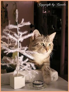 Christmas and a cat