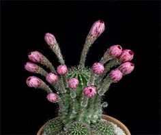 Echinopsis Cacti in Bloom by Greg Krehel (click gifs for cacti names)
