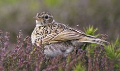 Politicians have the power to make farming more wildlife-friendly, helping species like the skylark. Photograph: RSPB