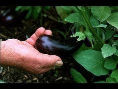 Planter l'aubergine