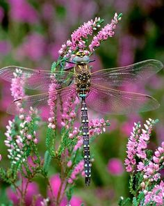 Dragonfly - Common Blue Hawker, by Robert Thompson Photography - http://www.robertthompsonphotography.com/dragonfly-season/
