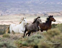 Three Mares Running - Fine Art Wild Horse Photograph