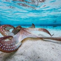 #octopus — Photos -- National Geographic Your Shot