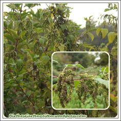 Brennessel-Samen sammeln