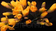水仙開花タイムラプス Timelapse Flower Narcissus - HD Stock Footage - Pflanzenwachstum im Zeit...