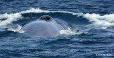 6 increíbles migraciones que no te puedes perder | Yal Kú México Aventurero , whales, blue whale, gray whale, humpback whale, mariposas monarca, ballenas, México, turismo, aventura, ecoturismo, turismo de aventura.