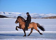 """3,234 vind-ik-leuks, 24 reacties - Horses of Iceland (@horsesoficeland) op Instagram: 'Horses of Iceland fun fact: """" In th Netherlands people like to skate on ice... in Iceland people…'"""
