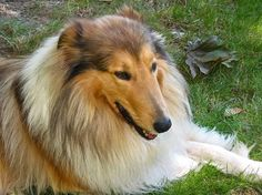 Gracehaven: Old-Fashioned Scotch Collies - Angus