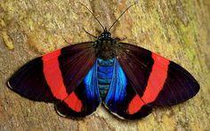 Tiger moth, Hypocrita calida or chalybea?