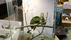 Expoterria Nov-15-Camaleon Gigante/Giant chameleon