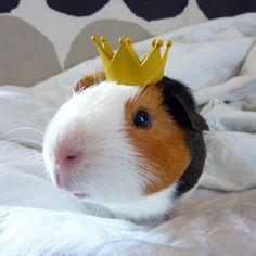 The King | 30 Guinea Pigs Wearing Hats