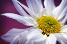 Fine Art Nature Photograph of a White Daisy by InLightImagery, $15.00