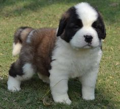 st bernard puppies StBernard Price in IndiaStBernard puppy for sale in Hyderabad Puppies And Kitties, Baby Puppies, Cute Puppies, Cute Dogs, Doggies, Big Dogs, I Love Dogs, Large Dogs, St Bernard Puppy