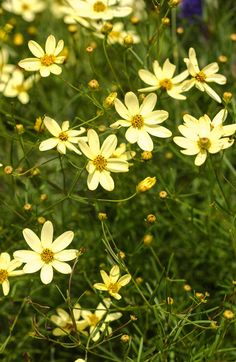 These Power Perennials Thrive No Matter What Yellow Coreopsis 'Moonbeam' flowers The post These Power Perennials Thrive No Matter What appeared first on Easy flowers. Long Blooming Perennials, Hardy Perennials, Flowers Perennials, Blooming Flowers, Yellow Perennials, Dianthus Flowers, Spring Perennials, Hydrangeas, Gardens