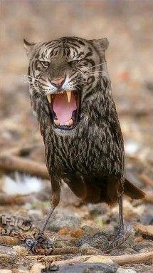 Photoshopped owl/tiger