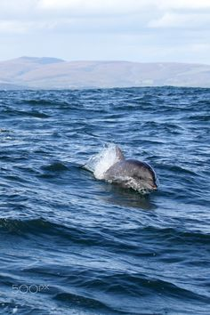 Bottlenose Dolphin (Tursiops aduncus) - Indo-Pacific Bottlenose Dolphin (Tursiops aduncus) swimming in the ocean near Dyer Island before the coast from Gansbaai, South Africa.