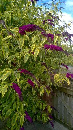 Buddleja Davidii (butterfly bush) - very hardy