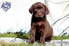 Annie – Labrador Retriever – Chocolate Puppies for Sale in PA | Keystone Puppies