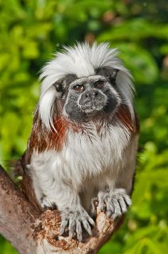Cotton top tamarin - (Saguinus oedipus) New World Monkey. The species is found in tropical forest edges and secondary forests in northwestern Colombia where it is arboreal and diurnal. Species Status: CRITICALLY ENDANGERED