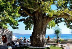 The 271 years old sycamore tree in Mlini, near Dubrovnik, Croatia