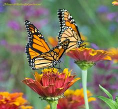 Which 5 Zinnia Varieties have Attracted the Most Butterflies to our Garden?