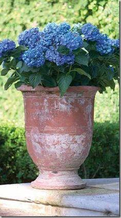 Endless summer hydrangea in terra cotta urn...
