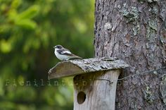 .Pieni lintu, Finland