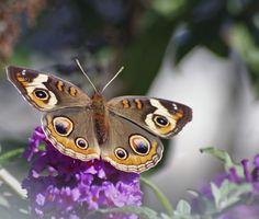 Buckeye butterfly nectaring on purple flower in butterfly garden designed by Brent Knoll of Knoll Landscape Design