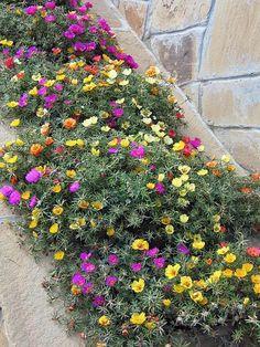 Знакомьтесь - портулак Flower Bed Plants, Front Yard Plants, Plant Design, Garden Design, Garden Care, Landscaping Plants, Colorful Flowers, Beautiful Flowers, Flower Boxes